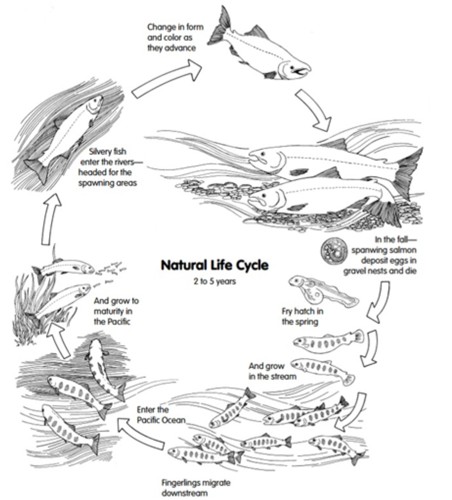 Figure 24. The life cycle of anadromous salmonids.  Graphic: Bowers et al. 1999