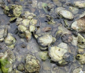 Native oysters in South Slough