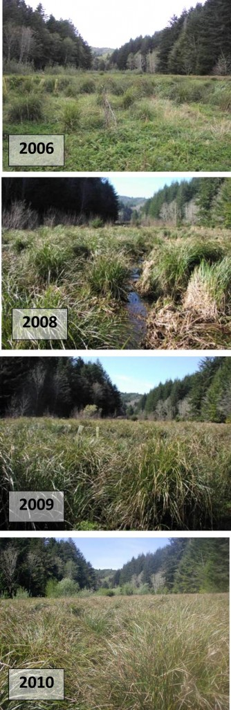 Figure 15. Progression of marsh plant community development in Anderson floodplain 2006-2010 shows continued domination of the native slough sedge (Carex obnupta) in areas of slightly less saturated wetland.