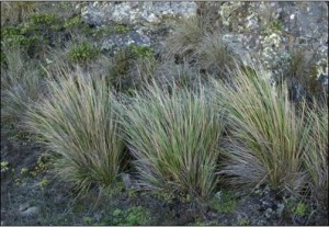 Figure 18. Pacific reedgrass. Photo: University of California, Berkley