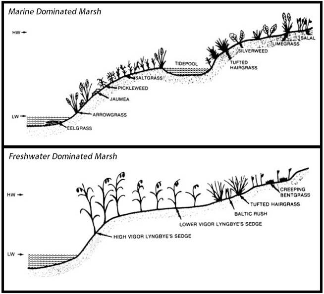 Figure 20. Typical zonation of Pacific Northwest estuarine vegetation showing the distribution of plants relative to marsh elevation. Figure: Seliskar and Gallagher 1983