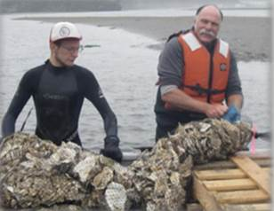 Figure 3. Volunteers aid in the restoration of native populations of Olympia oysters (O. lurida) in Coos Bay