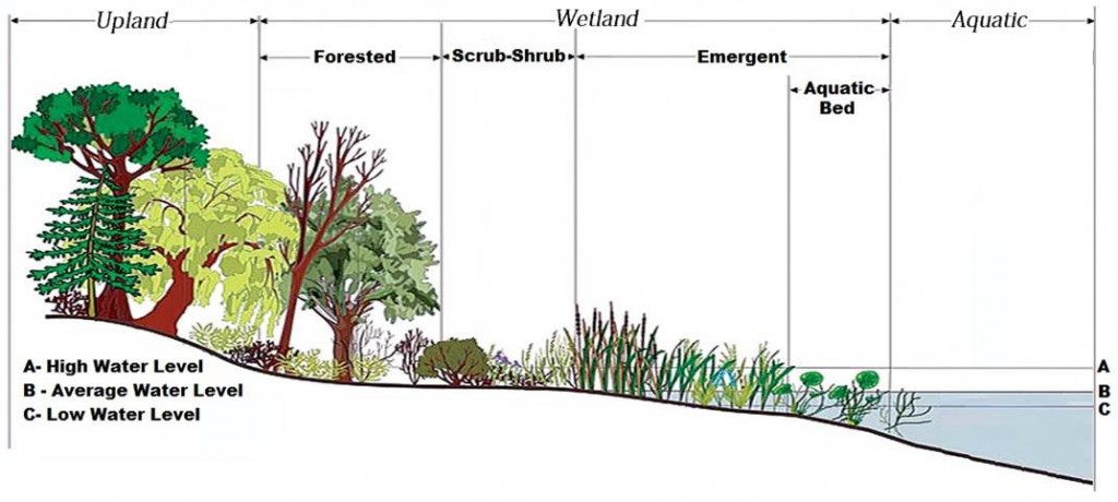 Figure 5. Schematic representation of NWI vegetation classes within a wetland setting. Image modified from Wilcox et al. 2007
