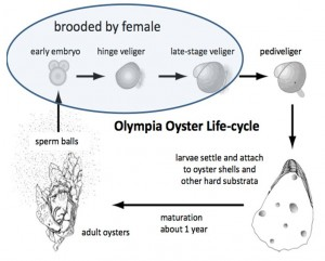 Figure 5. Life history of the Olympia oyster. GRAPHIC: Swanson n.d.