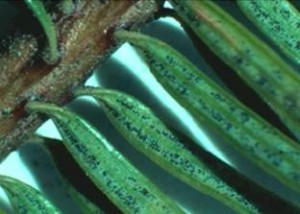 Swiss needle cast pathogen on Douglas fir needles. Photo: OR Dept of Forestry.