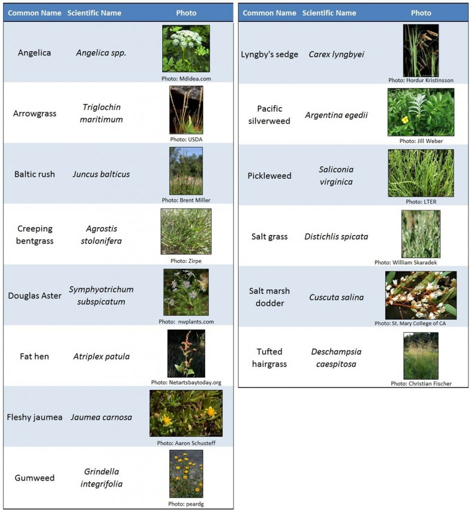 Table 5. Commonly occurring native plants in the marshes of the lower Coos estuary.