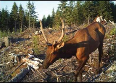 Figure 18. Deer and elk commonly browse planted seedlings in recently-reforested commercial tree plantations. Photo: Oregon Forest Research Institute 2013.