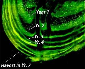 Figure 22. Biomarkers leave a stain on bears' tooth, which fluoresces under a special light. Using a microscope, biologists are able to determine the age of a bear at the time it consumes the biomarker and calculate the year the bait was ingested. The bright florescent annular ring in the example above indicates that a biomarker was consumed 3 years prior to harvest. A second florescent ring (unmarked in yr. 6) shows the consumption of an additional marker the year before harvest. Although bears may consume multiple biomarkers throughout their lifetime, it is unlikely that they will consume more than one annually due to the large distance between baits.