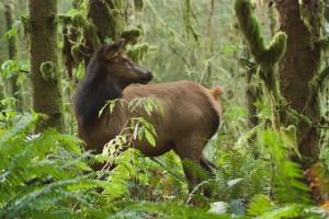 Photos: Cougar: ODFW Bear: Brian Wolitski Elk: Vickie Lewis