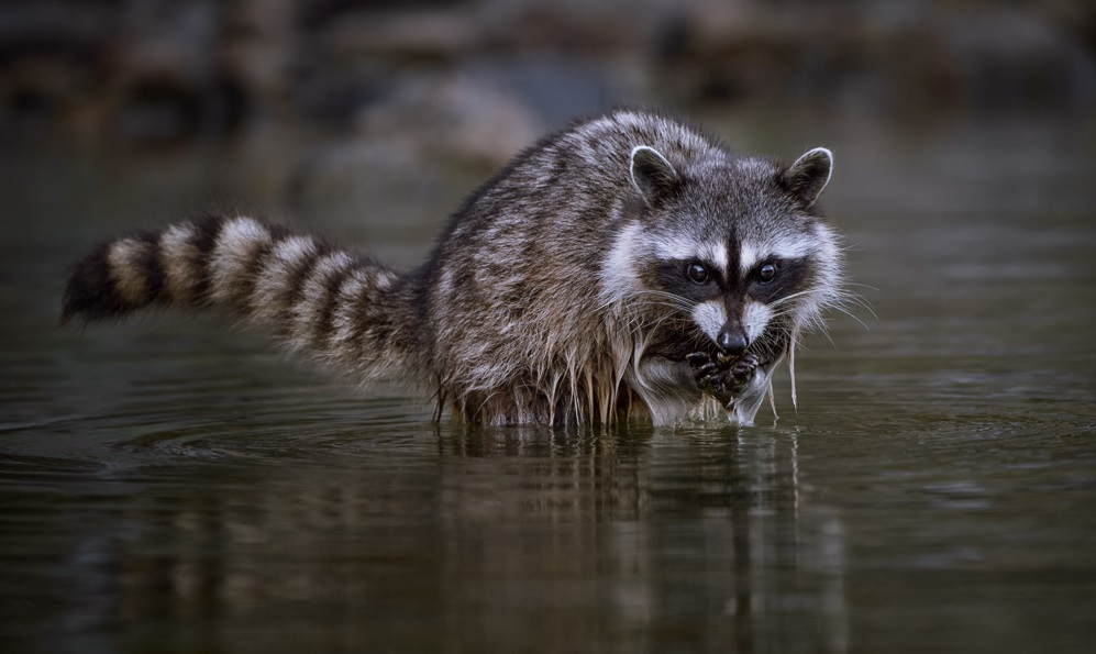 Figure 4. A juvenile raccoon foraging in an intertidal environment in British Columbia. Photo: CBParker, avatarlogs.com