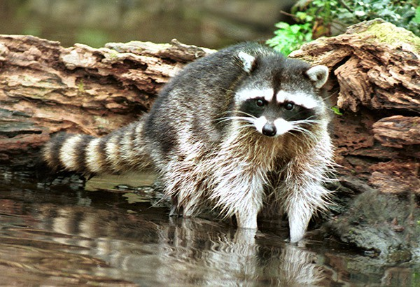 Photos: Raccoon: Jim Cruce  Beaver: Gigner Holser