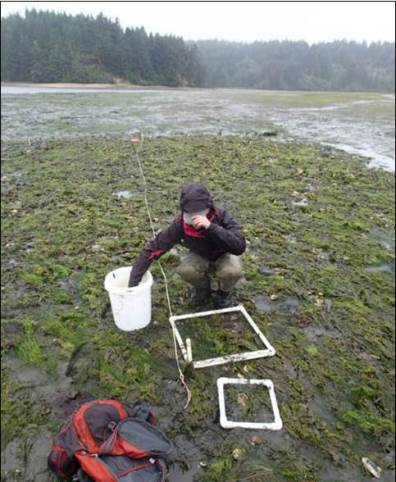 Figure 7. Sea lettuce (Ulva spp.) and other green algae dominate the intertidal flats during the summer months. This seasonal phenomenon is apparent in the photo above of a volunteer helping to conduct early summertime fieldwork in South Slough.
