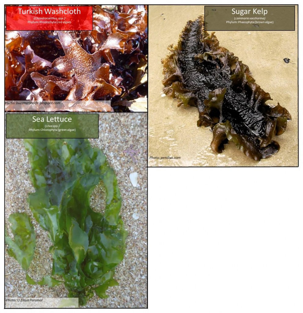 "Figure 9. The term ""seaweed"" is a colloquialism describing a diverse assemblage of algae species with unique taxonomies (Druehl 2000). Algae are commonly classified into three broad phyla, which are often referred to by the color of their pigments (red, green, and brown). Three algae from each group commonly found on the Oregon coast are pictured above."