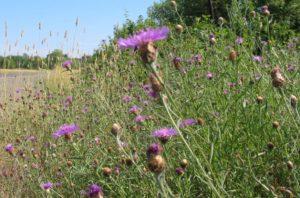 Meadow knapweed Photo: ODA
