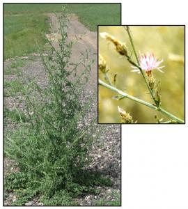 Figure 5. Diffuse knapweed (Centaurea diffusa). Photos: Beck 2013; ODA 2014a