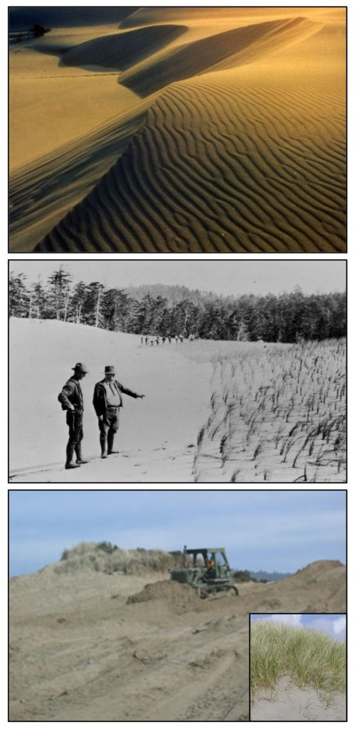 Figure 10. Top: Oblique sand dunes before beachgrass (Ammophila spp.) invasion. Middle: Inspection of intentional plantings of beachgrass in the Oregon Dunes Recreation Area c1930's. Dunes were planted to stabilize the highly mobile sand. Bottom: Bulldozer taking down a foredune north of Reedsport. The foredune was largely created by beachgrass (seen behind the bulldozer). Sources: University of Oregon Libraries; Siuslaw National Forest (bottom two photos); Coos Bay BLM (inset)