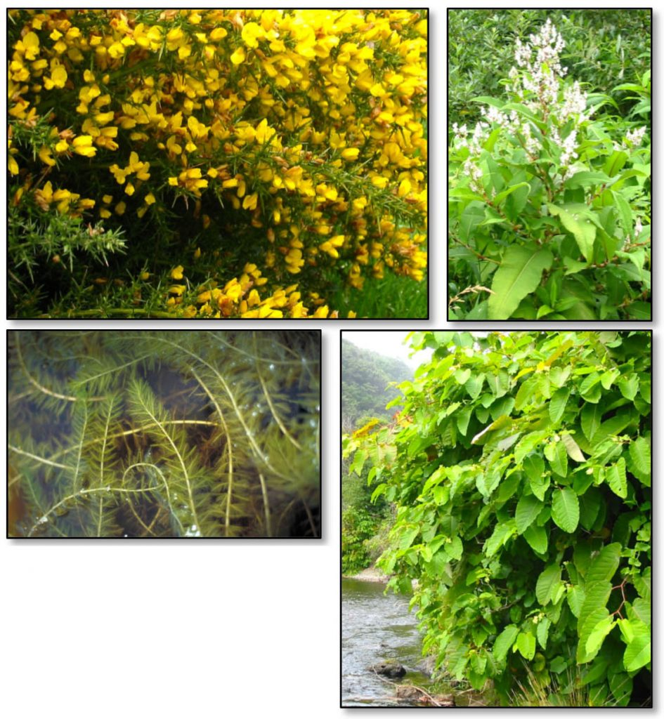 Figure 12. Established species with limited distribution in the project area that have the greatest potential impacts to the project area (clockwise from top left): gorse (Ulex europaeus); Himalayan knotweed (Polygonum polystachyum); giant knotweed (Polygonum sachalinense); and Eurasian watermilfoil (Myriophyllum spicatum). Photos: ODA 2014a