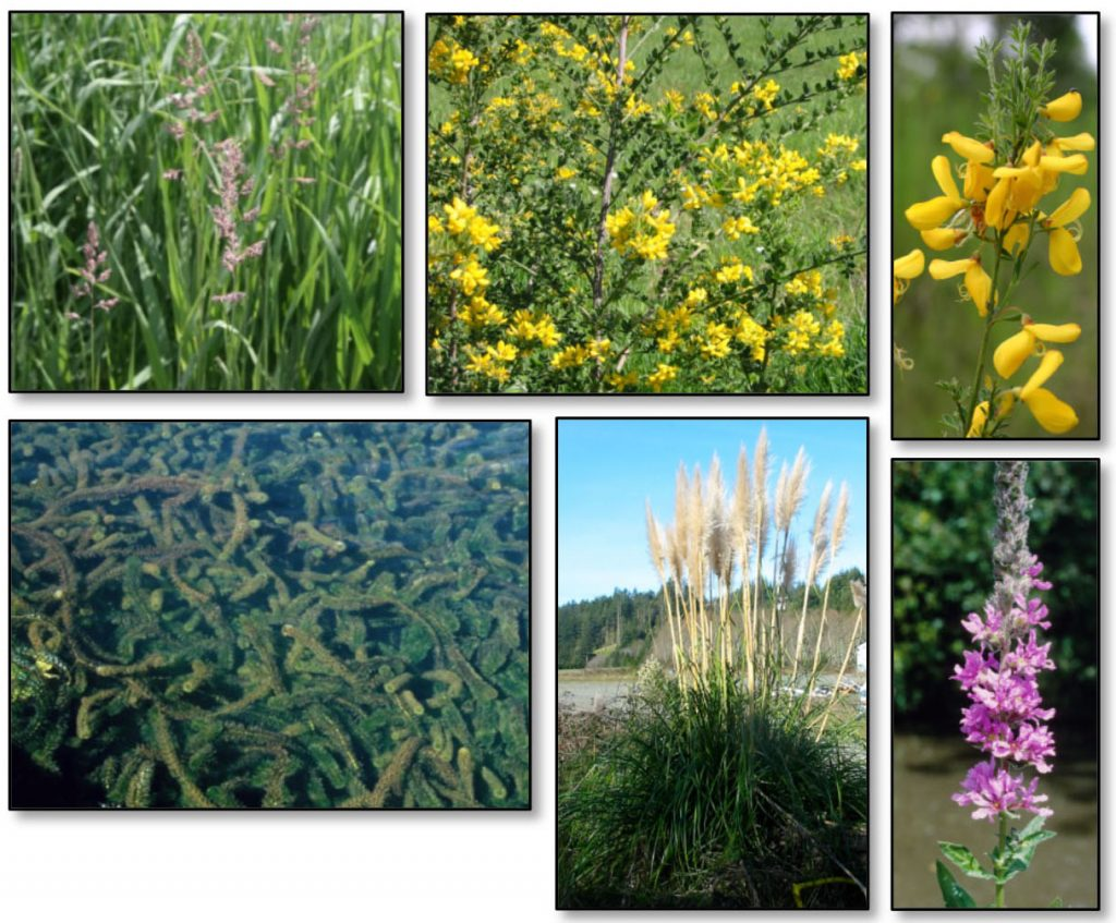 Figure 13. Established species with widespread distribution in the project area that pose the greatest threats to the project area. Top row: reed canary grass (Phalaris arundinacea); French broom (Genista monspessulana); Scotch broom (Cytisus scoparius); Middle row: Brazilian waterweed (Egeria densa); jubata grass (Cortaderia jubata); purple loosestrife (Lythrum salicaria). Photos: ODA 2014a; U of FL (Brazilian waterweed); and OSU (reed canary grass).