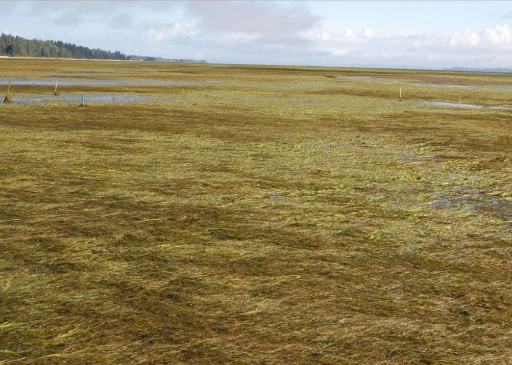 Figure 15. Continuous coverage of invasive Japanese eelgrass (Z. japonica) in Willipa Bay, WA at a site that was unvegetated mudflat 10 years prior. Source: Fisher et al. 2011