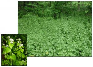 Figure 3. Thicket of garlic mustard (Alliaria petiolata) and close-up of flowers. Photos: ODA 2014a; EDDMapS 2014.