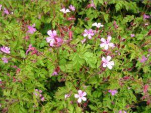 Figure 7. Herb Robert (Geranium robertianum). Photo: ODA 2014a