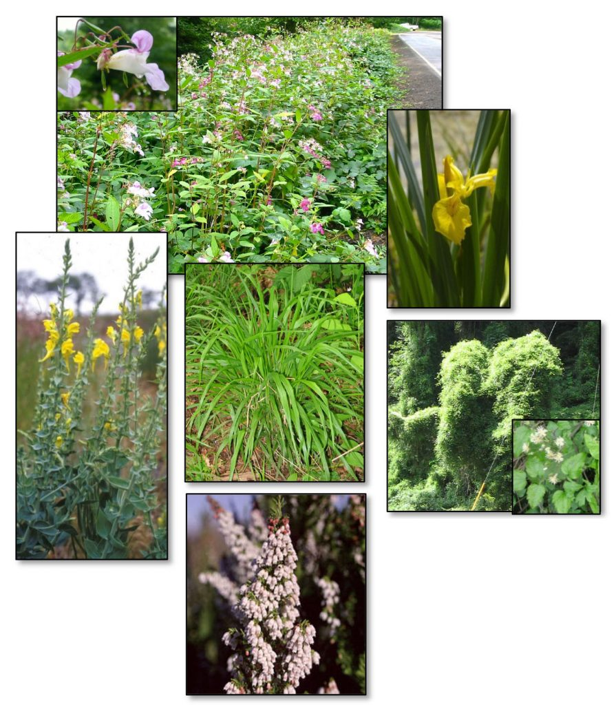 Figure 8. Partially contained species. Clockwise from top: Policeman's helmet (Impatiens glandulifera)(inset: flower); Yellow flag iris (Iris pseudacorus); Old man's beard (Clematis vitalba)(inset: leaves and flower); Spanish heath (Erica lusitanica); Dalmatian toadflax (Linaria dalmatica). Middle: False brome grass (Brachypodium sylvaticum). Photos: ODA 2014a; Stone 2009; Lincoln county soil water conservation district; kingcounty.gov; wikipedia.