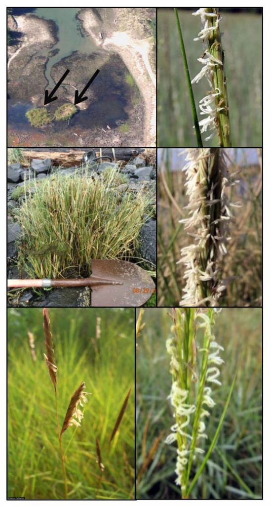 Figure 2. Top left: Smooth cordgrass (Spartina alterniflora) clones (black arrows) at Barview Wayside in 1995. Top right: close-up of a flowering smooth cordgrass seed head which never developed at Barview Wayside. Middle left: Dense-flowered cordgrass (Spartina densiflora) in Coos Bay near Jordan Cove (2013). Middle right: Close-up of dense-flowered cordgrass flowering head. Bottom left: Saltmeadow cordgrass (Spartina patens). Bottom right: Common cordgrass (Spartina anglica).