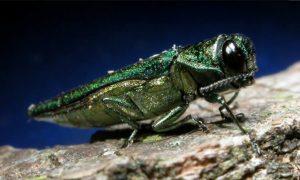 Emerald ash borer Photo: emeraldashborer.info