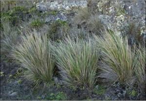 Figure 18. Pacific reedgrass. Photo: University of California, Berkley