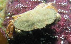 Juvenile Red  Rock Crab Photo: ODFW
