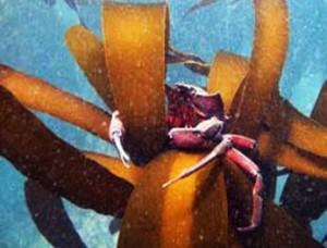 Kelp Crab Photo:  Scott Groth