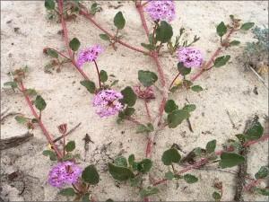 Pink sand verbena