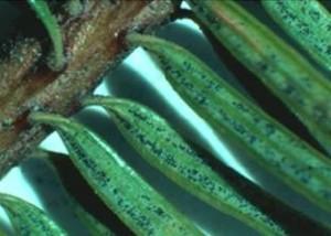 Swiss needle cast pathogen on Douglas fir needles. Photo: OR Dept of Forestry.