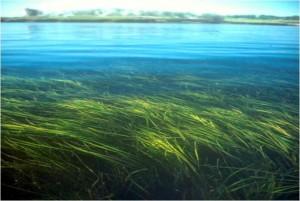 Top Photo: S. Jeffery Copper rockfish  swims among eelgrass blades.  Bottom Photo: vims.edu Expansive eelgrass meadow