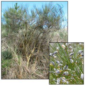 Figure 4. Portuguese Broom (Cytisus striatus) plant and close up of seed pods. Photos: ODA 2014a