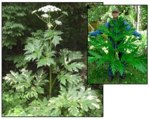 Figure 6. Giant hogweed (Heracleum mantegazzianum). Photos: ODA 2014a