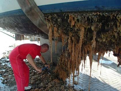 Invasive tunicate (Didemnum vexillum) infestation.